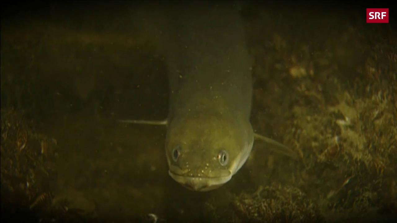 Aal ist Fisch des Jahres 2018
