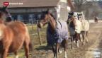 Video «Wegen Bundesgeldern mehr Fohlen geschlachtet» abspielen