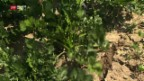 Video «Trockenheit bereitet den Gemüsebauern Sorgen» abspielen