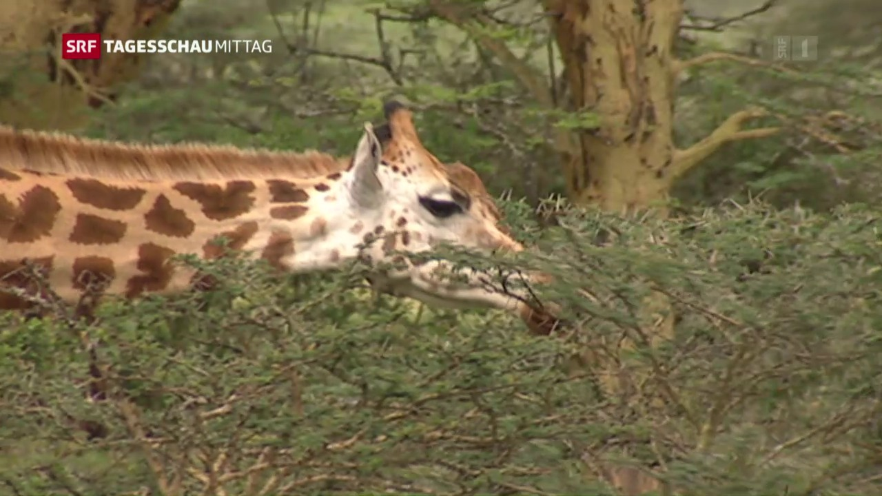 Bedrohte Giraffen