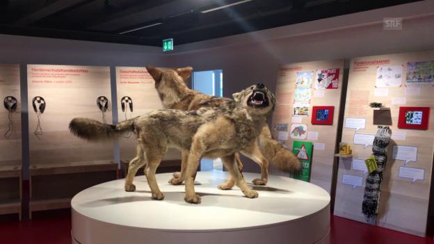 Video «Was macht der Wolf mit der Schweiz?» abspielen