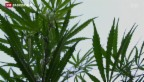 Video «Uruguay legalisiert Cannabis - und reguliert grosszügig» abspielen