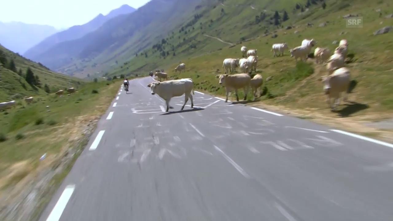 Rad: Tour de France, 11. Etappe, Kühe sorgen für Schockmoment