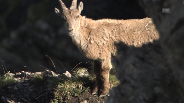 Video «Steinbock – das Capricorn der Alpen» abspielen