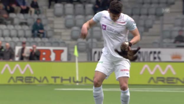 Video «Super League: Ein Marder narrt Thun- und FCZ-Spieler» abspielen
