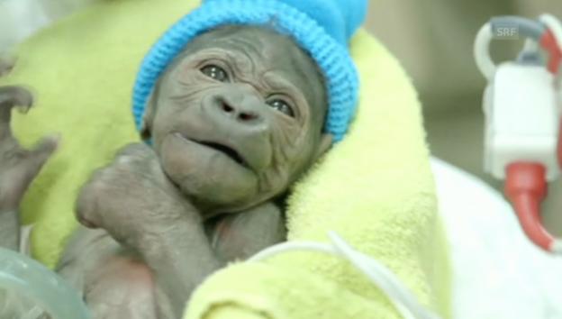 Video «Der Gorilla wird jetzt aufgepäppelt (unkommentiert)» abspielen