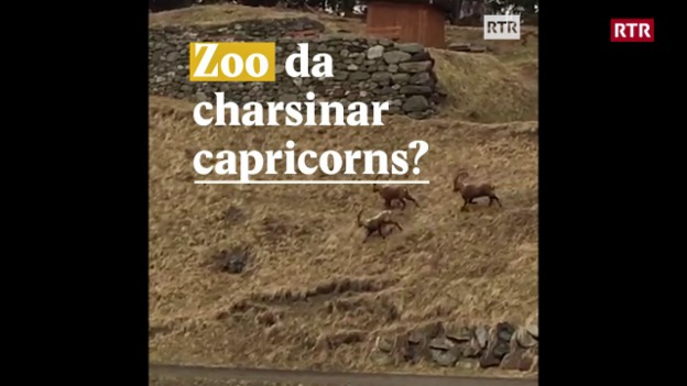 Laschar ir video «Zoo da charsinar capricorns?»