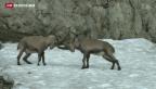 Video «Nationalpark feiert 100. Geburtstag» abspielen