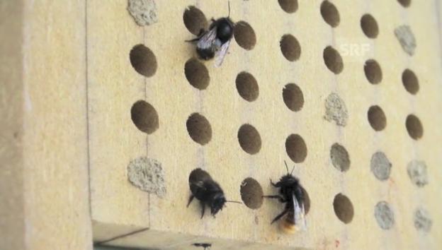 Video «Wildbienen» abspielen