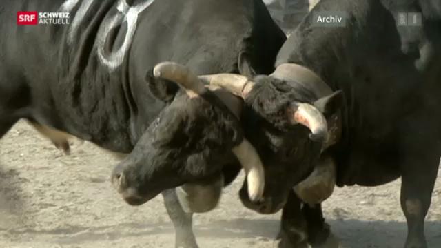 Kämpfende Kühe