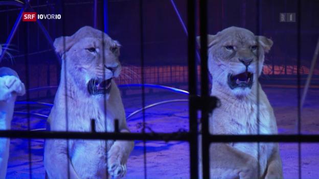 Video «Tierschützer gegen Löwen im Zirkus» abspielen