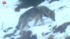 Video «Das Wolfsrudel vor der Haustüre» abspielen