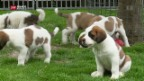 Video «Bernhardiner Nachwuchs» abspielen