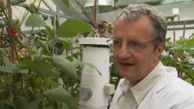 Video «Arnold Schori über Soja-Anbau in der Schweiz» abspielen