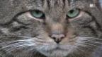 Video «Wildkatzen - eine haarige Geschichte (Schweizerdeutsch)» abspielen