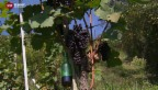 Video «Noternte im Weinbau» abspielen