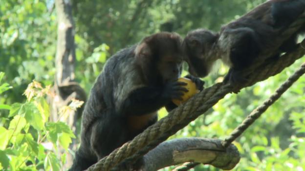 Video «Der Kapuziner-Affe (18)» abspielen