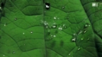Video «Wunder der Natur: Das Lotusblatt» abspielen