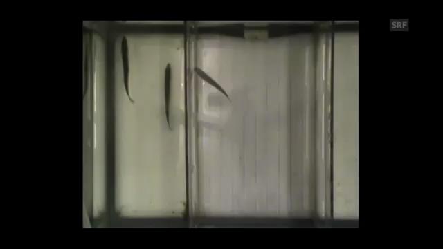 Video 2: Fische in sauberem Wasser