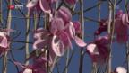 Video «Blumenpracht nach langem Winter» abspielen