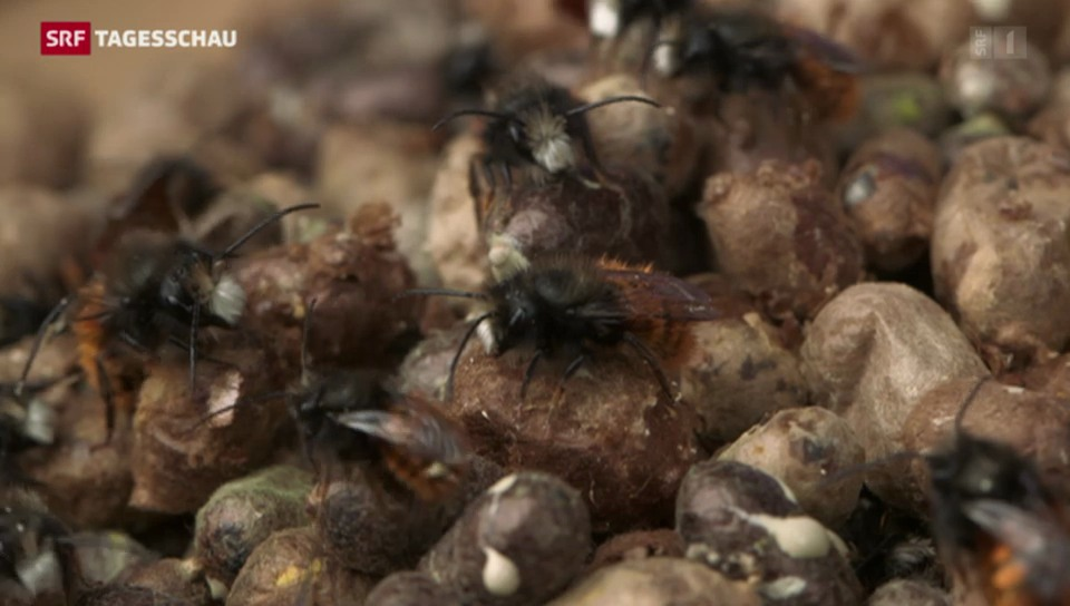 Wildbienen auf Abruf