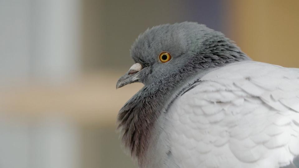 Tauben sind schlauer als wir denken