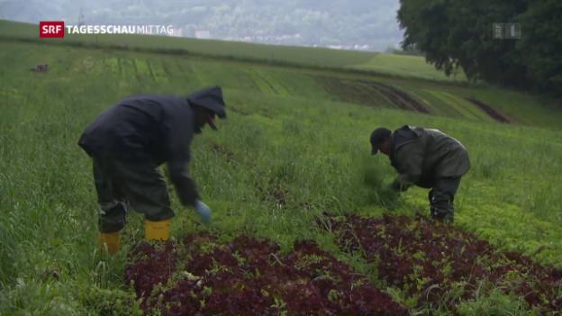 Video «Flüchtlinge bewähren sich auf Bauernhöfen» abspielen