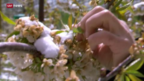 Bereits anfangs Monat kam es zu Frostschäden.