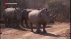 Video «Wertvolle Nashörner» abspielen