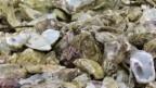 Video «Frankreichs Kampf gegen das Austernsterben» abspielen