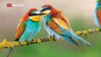 Video «Neue Daten über Flüge des «Bienenfressers»» abspielen