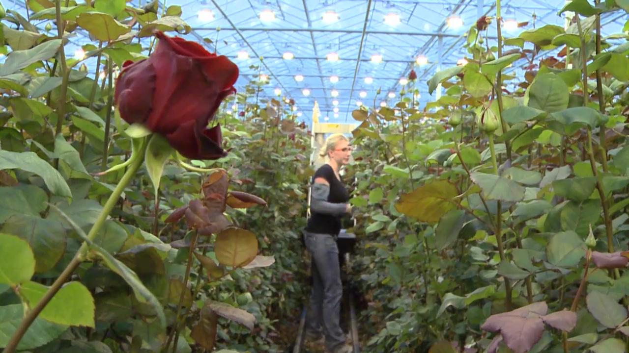Vier Millionen Rosen für den Valentinstag