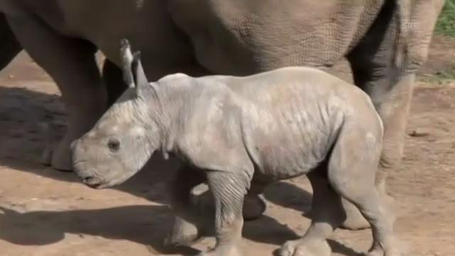 Nashorn-Nachwuchs in australischem Zoo (ohne Ton)