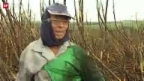 Video «Zuckerrohr als Treibstoff» abspielen