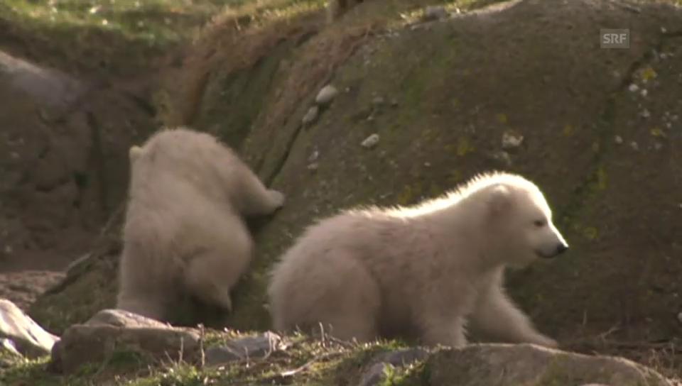 Eisbären-Zwillinge in Rotterdam