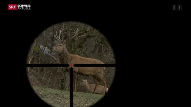 Video «5000 Hirsche frei zum Abschuss» abspielen