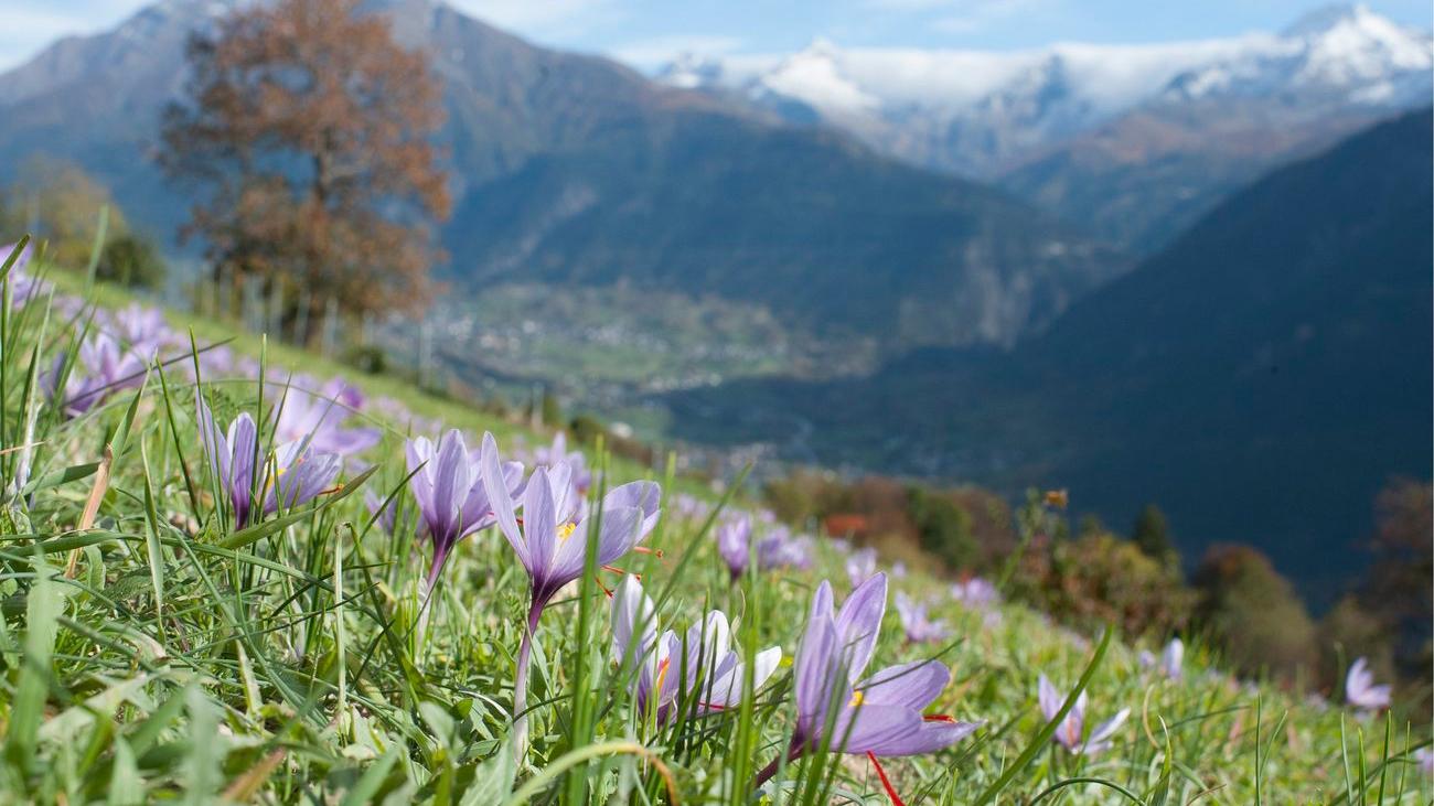 Immer mehr Safran blüht in der Schweiz