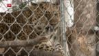 Video «Mehr Raubtiere für kleine Zoos» abspielen