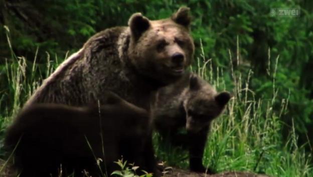 Video «David Bittner und die Rückkehr der Bären» abspielen