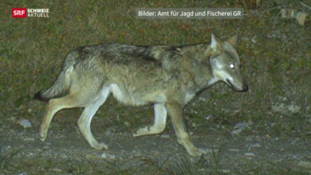 Video «Leben mit dem Wolf» abspielen