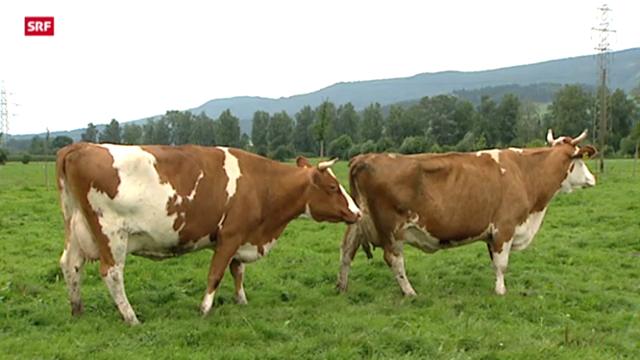 Rindertuberkulose in der Schweiz aufgetaucht