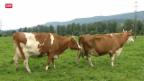 Video «Rindertuberkulose in der Schweiz aufgetaucht» abspielen