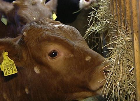 Tiergerechte Kälbermast: Bauern stellen sich quer