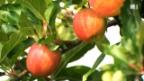 Video «Äpfel aus Altnau» abspielen