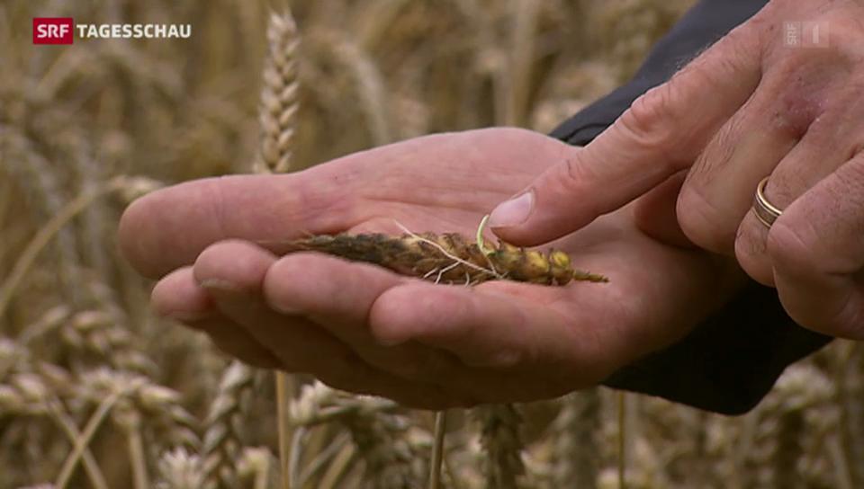 Getreidebauern beklagen Weizenauswuchs