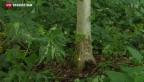Video «Tödlicher Pilz bedroht Eschen» abspielen