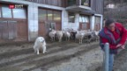 Video «Kritik am Tessiner Herdenschutz» abspielen